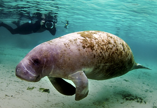 West Indian Manatee in Crystal River Florida