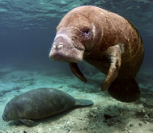 West Indian Manatee Crystal river